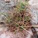Heermann's Grooved Wild Buckwheat - Photo (c) Kristen MR, all rights reserved
