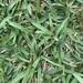Stenotaphrum secundatum - Photo (c) mrrogerstx, όλα τα δικαιώματα διατηρούνται