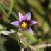 Romulea ramiflora - Photo (c) Thomas Silberfeld, kaikki oikeudet pidätetään