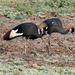 Grulla de Corona Negra - Photo (c) Marc Faucher, todos los derechos reservados