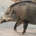 South China Boar - Photo (c) Pasteur Ng, all rights reserved