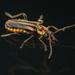 Chauliognathus gracilis - Photo (c) Peter Marting, kaikki oikeudet pidätetään