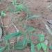 Urochloa deflexa - Photo (c) matthewj, todos os direitos reservados