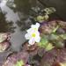 Nymphoides cristata - Photo (c) hanc_botanybattalion, todos los derechos reservados