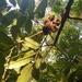 Cupaniopsis flagelliformis - Photo (c) Luis Webber, todos los derechos reservados