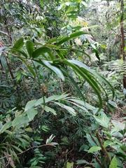 Podocarpus guatemalensis image