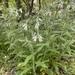 Lithospermum bejariense - Photo (c) Jessica Beckham, todos los derechos reservados