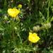 Ranunculus polyanthemos - Photo (c) wojtest, todos los derechos reservados
