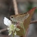 Eufala Skipper - Photo (c) Tripp Davenport, all rights reserved