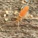 Entomobrya atrocincta - Photo (c) Graham Montgomery, todos los derechos reservados