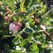 Arctostaphylos osoensis - Photo (c) Julia Harencar, todos los derechos reservados