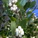 Arctostaphylos manzanita - Photo (c) Henry (Hank) Fabian, todos los derechos reservados