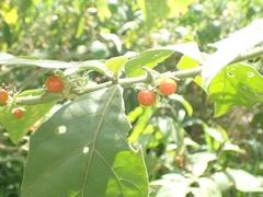 Solanum jamaicense image