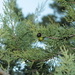Spanish Juniper - Photo (c) naturalist, all rights reserved