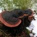 Gloeophyllum odoratum - Photo (c) Dominik and Melisa, todos los derechos reservados