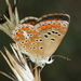 Brown Argus - Photo (c) Raniero Panfili, all rights reserved