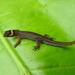 Lepidoblepharis sanctaemartae - Photo (c) juandaza, todos los derechos reservados, uploaded by juandaza