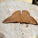 Mariposa Topacio de Ala Oscura - Photo (c) Julio Alejandro Álvarez Ruiz, todos los derechos reservados