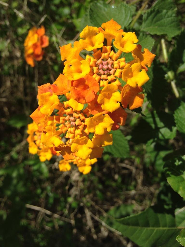 Common Lantana Spc Florida Plants Inaturalistorg