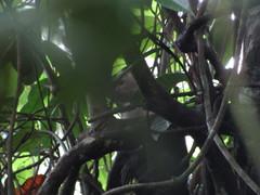 Cebus capucinus image