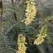 Astragalus trichopodus - Photo (c) John Noble, todos los derechos reservados