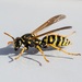 European Paper Wasp - Photo (c) Bill Keim, some rights reserved (CC BY)