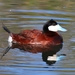 Ruddy Duck - Photo (c) Tom Benson, some rights reserved (CC BY-NC-ND)