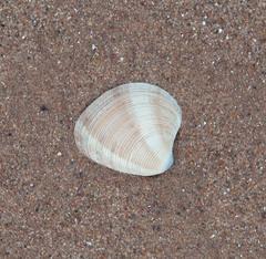 Chamelea striatula image
