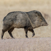 Collared Peccary - Photo (c) Juan Miguel Artigas Azas, all rights reserved