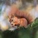 Eurasian Red Squirrel - Photo (c) Zuzana Lukášová, all rights reserved