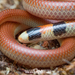 Black-naped Burrowing Snake - Photo (c) Adam Brice, all rights reserved