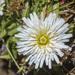 Hypochaeris sessiliflora - Photo (c) Frank Dietze, όλα τα δικαιώματα διατηρούνται