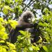 Langur Obscuro - Photo (c) Paul, todos los derechos reservados, uploaded by creaturesnapper