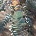 Eucalyptus pulverulenta - Photo (c) Ross Warwick, todos los derechos reservados