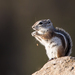 Texas Antelope Squirrel - Photo (c) Lee Hoy, all rights reserved