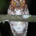 Screech-Owls - Photo (c) Carlos N. G. Bocos, all rights reserved