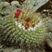 Mammillaria canelensis - Photo (c) Jonathan Mohl, all rights reserved