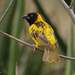 Village Weaver - Photo (c) Nik Borrow, some rights reserved (CC BY-NC)