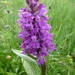 Broad-leaved Marsh Orchid - Photo (c) wojtest, all rights reserved