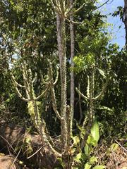 Euphorbia lactea image