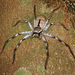 Grey Huntsman Spider - Photo (c) Jean Roger, all rights reserved