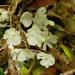 Microcoelia macrantha - Photo (c) hdhsg, todos los derechos reservados