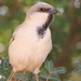 Desert Sparrow - Photo (c) Carlos N. G. Bocos, all rights reserved