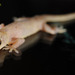 Common House Gecko - Photo (c) pintail, all rights reserved, uploaded by Kim, Hyun-tae