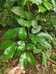 Prioria copaifera image