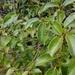Zinowiewia costaricensis - Photo (c) Nicolas Morales, todos los derechos reservados