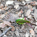 Coniungoptera nothofagi - Photo (c) Thomas A. Driscoll, todos los derechos reservados
