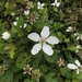 Southern Dewberry - Photo (c) Aidan Campos, some rights reserved (CC BY-NC)