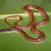 Phimophis guianensis - Photo (c) juandaza, todos los derechos reservados, uploaded by juandaza