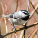 Mountain Chickadee - Photo (c) Ron Knight, some rights reserved (CC BY)